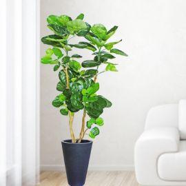 Artificial Polyscias Scutellaria 160cm Height