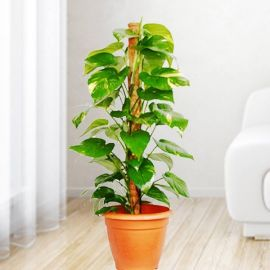 Money Plant (Epipremnum Aureum) 3ft