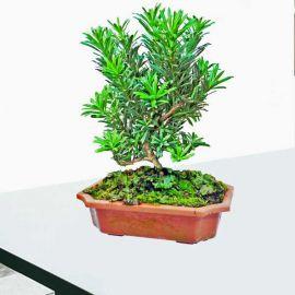 Buddhist Pine Bonsai Tree 30cm height In Plastic Pot