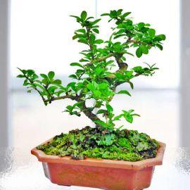 Fukien Tea Bonsai About 30cm Height