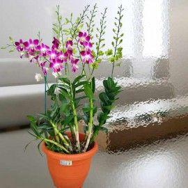 Live Orchid Plants