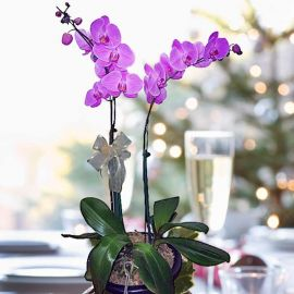 Purple Live Phalaenopsis Orchids Potted Plants ( 2 stalks )